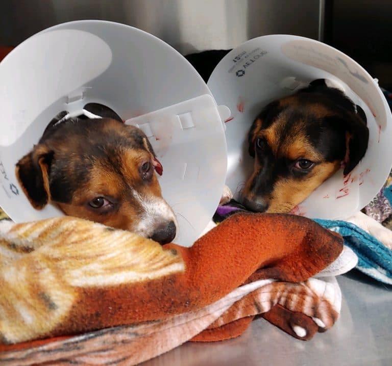 Puppies get hematoma operations